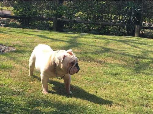 bulldog ingles para inseminación (con chip)