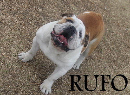 bulldog ingles para montas