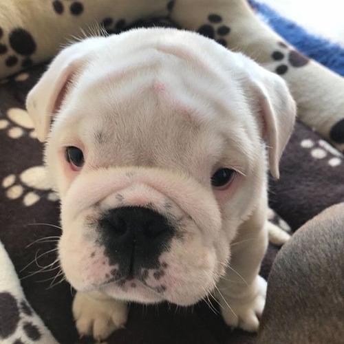 bulldog ingles perros  cali medellin bogota barranquilla