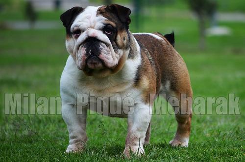 bulldog ingles - registrado - para monta - pedigree