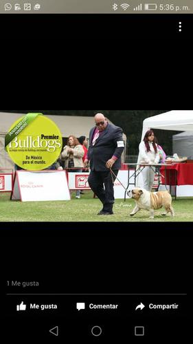 bulldog ingles semental