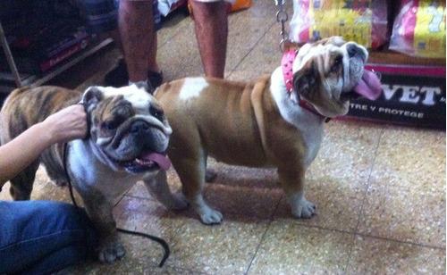 bulldog ingles. servicio de stud. padres campeones