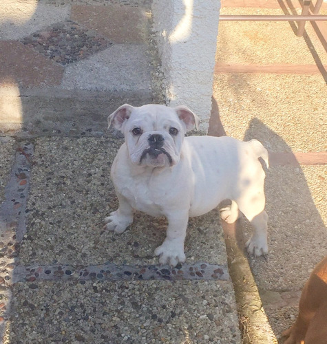 bulldog inscritos pedigree