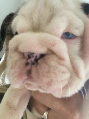 bulldogs inglés merle exóticos hermoso machos y hembras