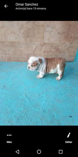 bulldogs ingles preventa de cachorros pedigree internacional