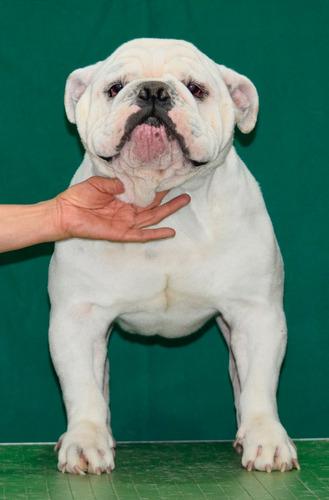 bulldogs ingles, renta de semental y cachorros lilbulls.com