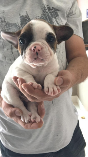 bulldogue francês com pedigree