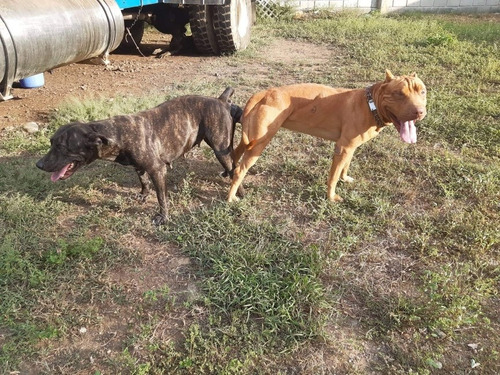 bully x american stafforshire terrier