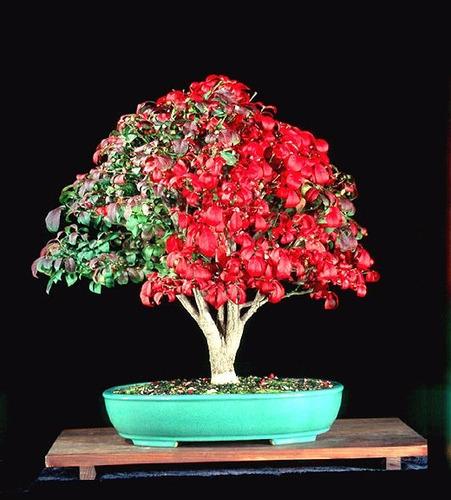 burning bush euonymus sementes cerca viva para mudas