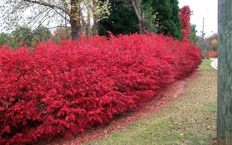 Burning bush euonymus sementes cerca viva para mudas r for Siepe in vaso