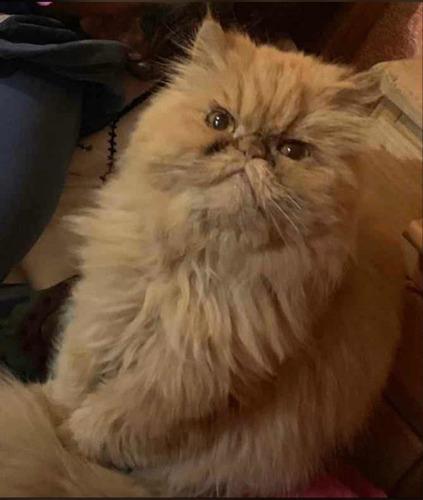 busca gato persa para cruza- soy hembra