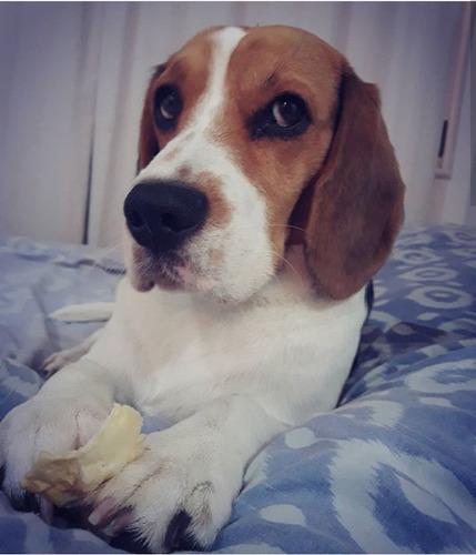buscamos novia beagle