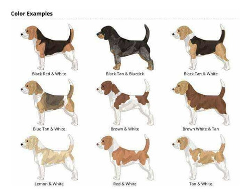 busco beagle bi color hembra
