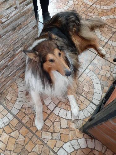 busco cruza para mi perro collie (lazi)