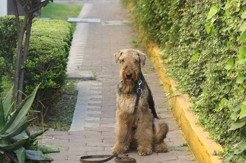 busco novía airedale terrier 2anos 11meses, ciudad de mexico