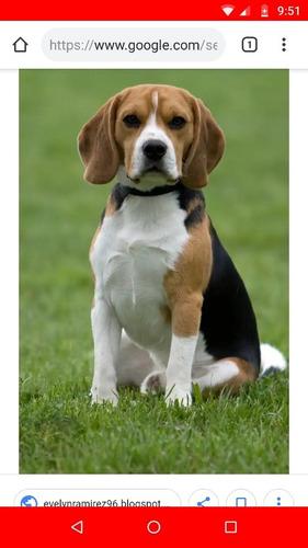 busco novia de raza beagle en ibagué
