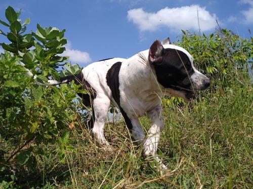 busco novia para mi cachorro pitbull ¿¿¿