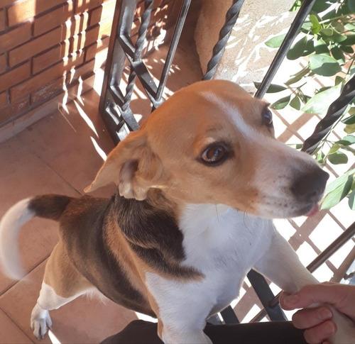busco novio beagle