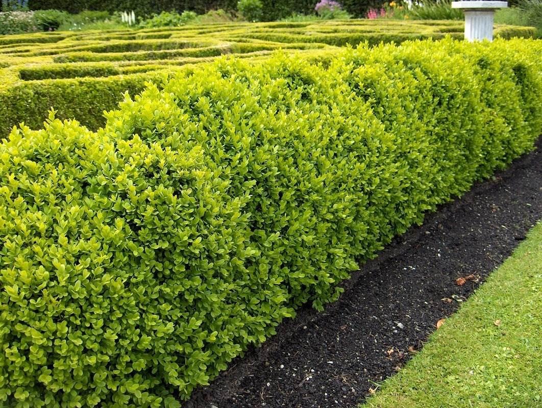 Buxus 10 l arbusto cerco bajo plantas exterior 370 for Arbustos ornamentales de exterior