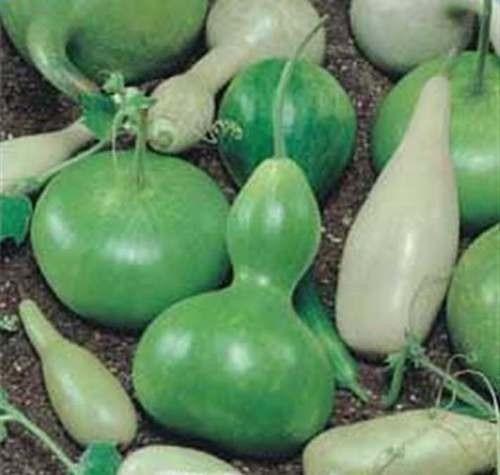 cabaça ornamental + 35 sementes = kit 3 pct - frete grátis