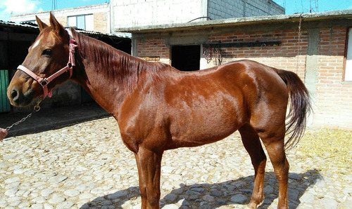 caballo alazan