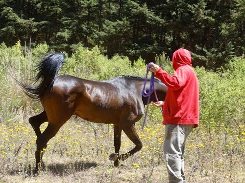 caballo árabe