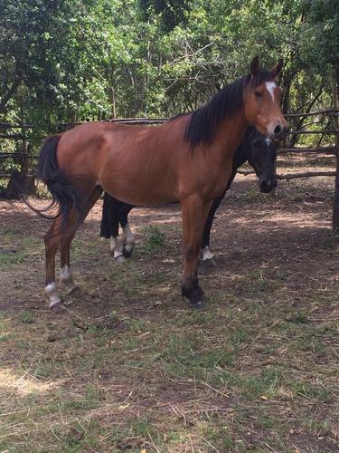 caballo arabe inscrito