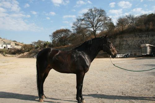 caballo lusitano