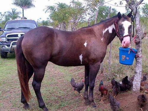 caballo pinto cuarto de milla