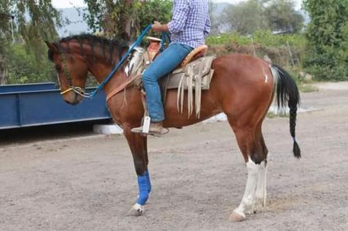 caballo portuges con cuarto de milla
