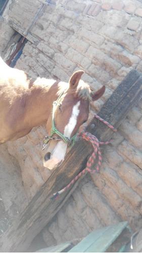 caballo, potrillo alazán