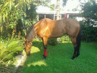 caballo torobred 5 años 7meses