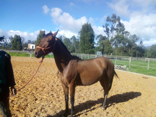 caballo trotón galopero