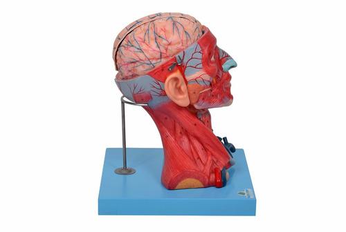 cabeça com músculos em 10 partes musculação anatomia.