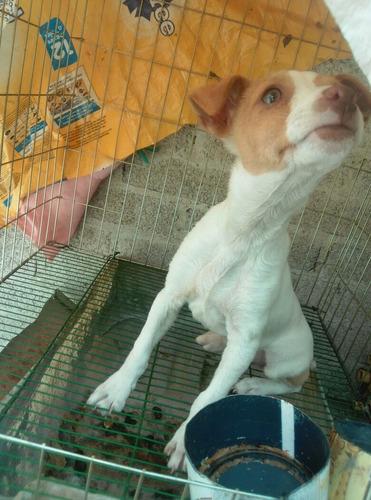 cachorita de 3 meses raza:ratonera
