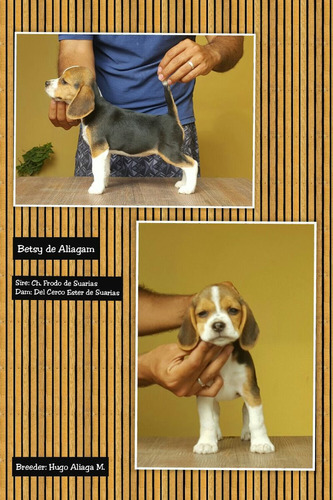 cachorra beagle full pedigree