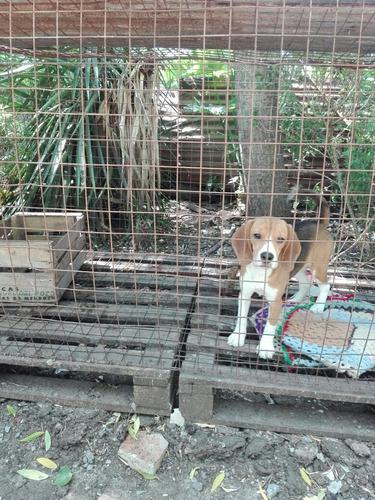 cachorra beagle tricolor hembra con pedigree de fca