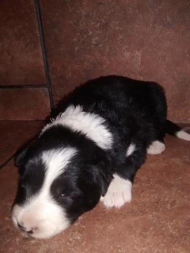 cachorra border collie