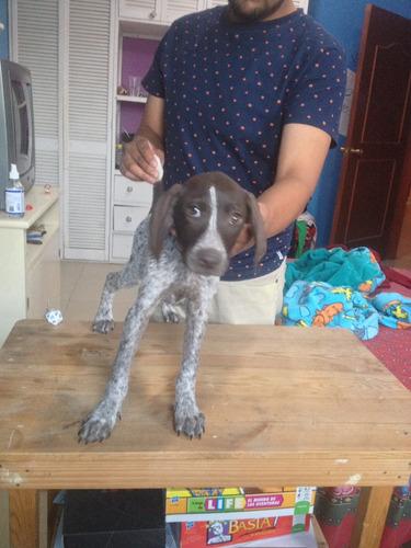 cachorra braco alemán