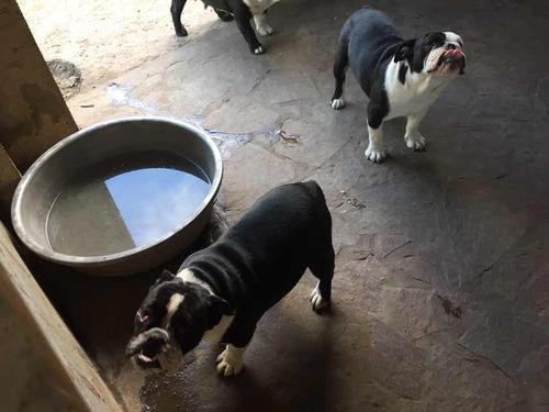 cachorra bulldog ingles