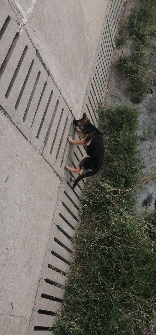 cachorra pastor alemán de 5meses