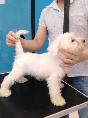 cachorra schauzer blanco