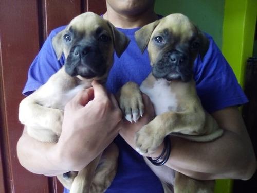cachorras boxer