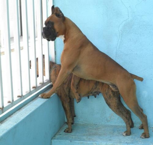 cachorras boxer la mejor reputacion de mercadolibre