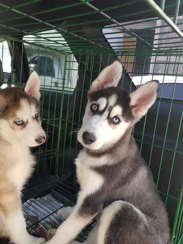 cachorras husky . línea al ¿  vacunas y desparasitada