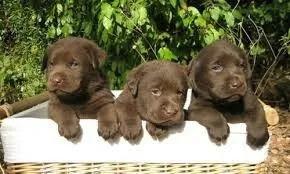 cachorras  labradores  chocolate  hembras aceptamos tarjetas