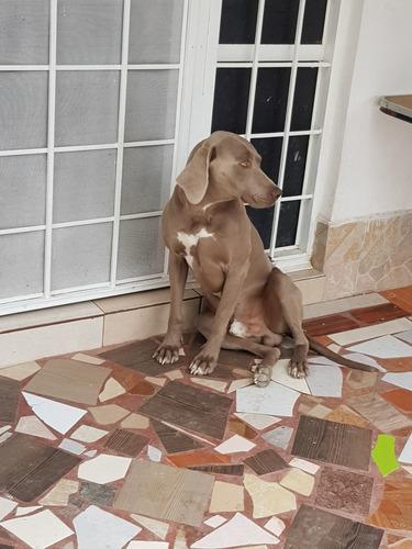 cachorras weimaraner 100% raza pura