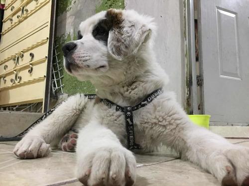 cachorrita san bernardo