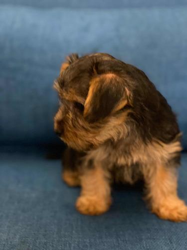 cachorrita yorkshire raza pura