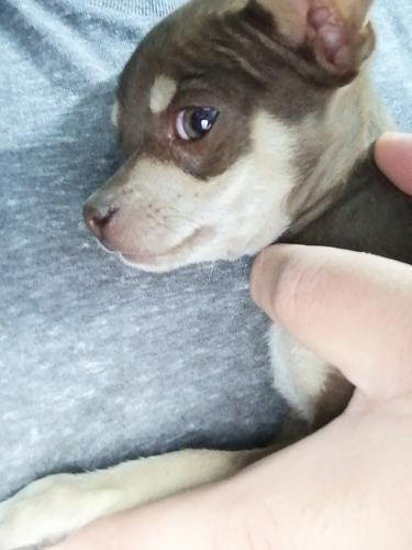 cachorrito chihuahua